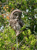 The Great Grey Owl is an occasional winter visitor in Timiskaming. This photo is of a rare summer visit, taken in Cane Township in mid-August.
