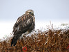 Rough-legged Hawk, a large hawk that breeds on the arctic tundra and migrates through Timiskaming in spring and fall.