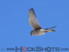 American Kestrel in flight. The Kestrel is a small falcon.