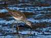 Lesser Yellowlegs at Hilliardton Marsh