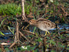Wilson's Snipe at Hilliardton Marsh