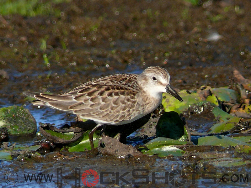 White-rumped Sandpiper at Hilliardton Marsh