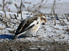 Snow Bunting in Armstrong Township