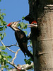Pileated Woodpecker adult and nestling