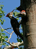 Pileated Woodpecker adult and nestlings