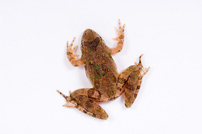 The back of a small toad sits on a white background