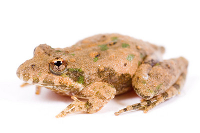 A small toad sits on a white background