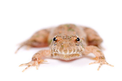 A small toad sits and faces foreward on a white background