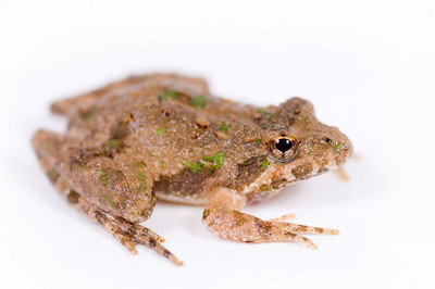 Profile of small toad resting on a white background