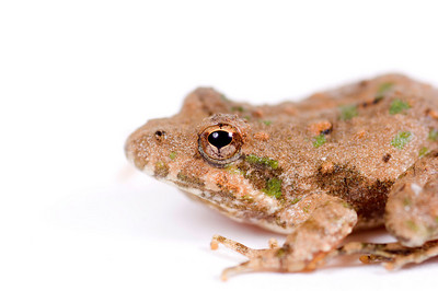 Macro image of a small toad resting on a white background