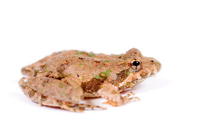 The profile of a small toad sitting on a white background