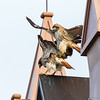 Red Tailed Hawk mating.
