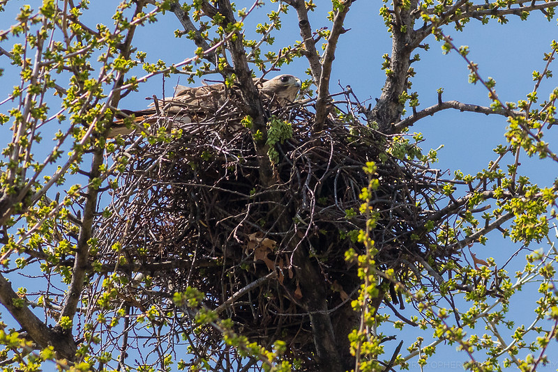 Red Tailed Hawk's nest