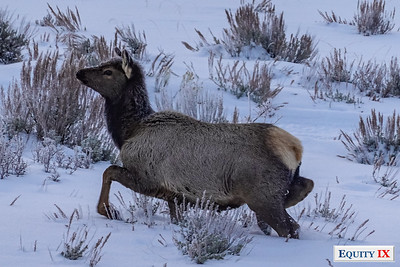 Wildlife - Gros Ventre Butte