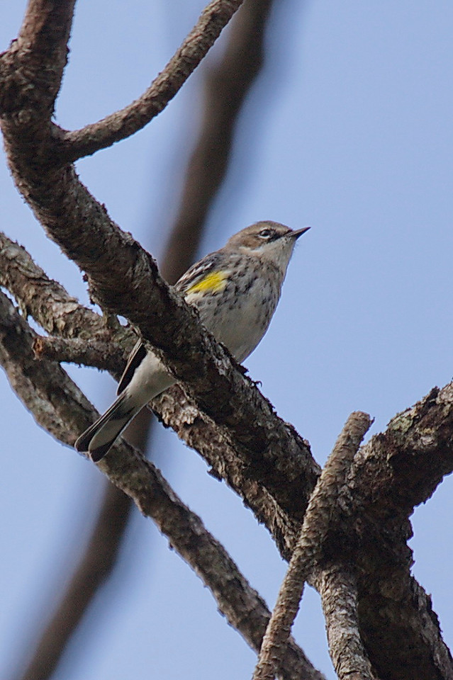 4052 First winter myrtle yellow-rumped warbler, a long name for a little bird that shows the yellow under its wing.