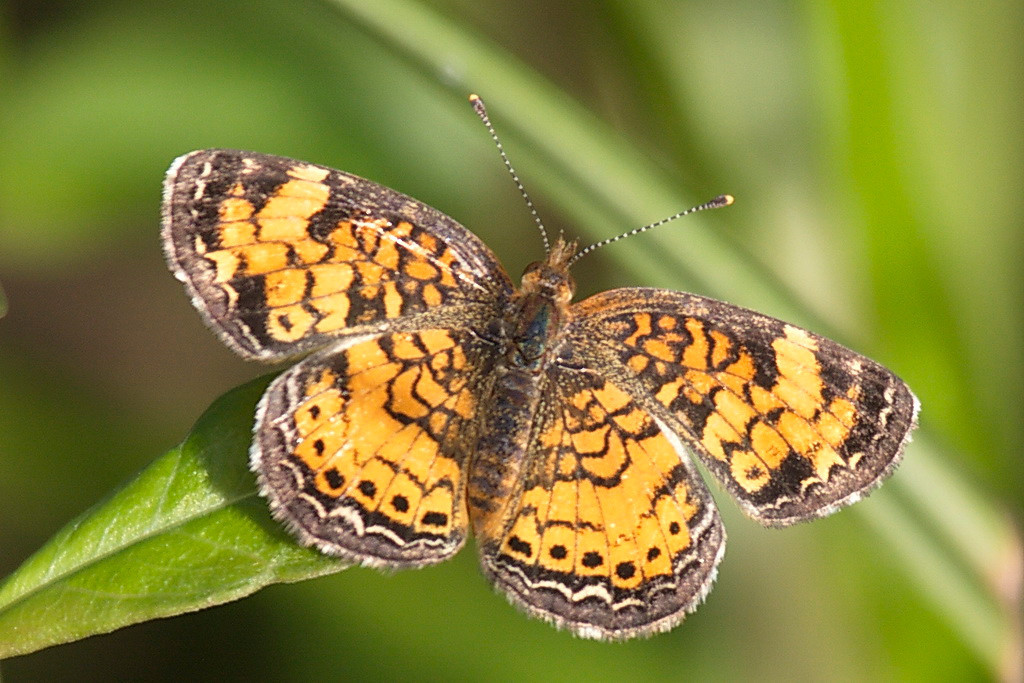 4106 A pretty pearl crescent butterfly.