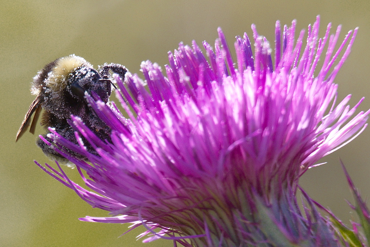 Bumblebee on Horrible Thistle.