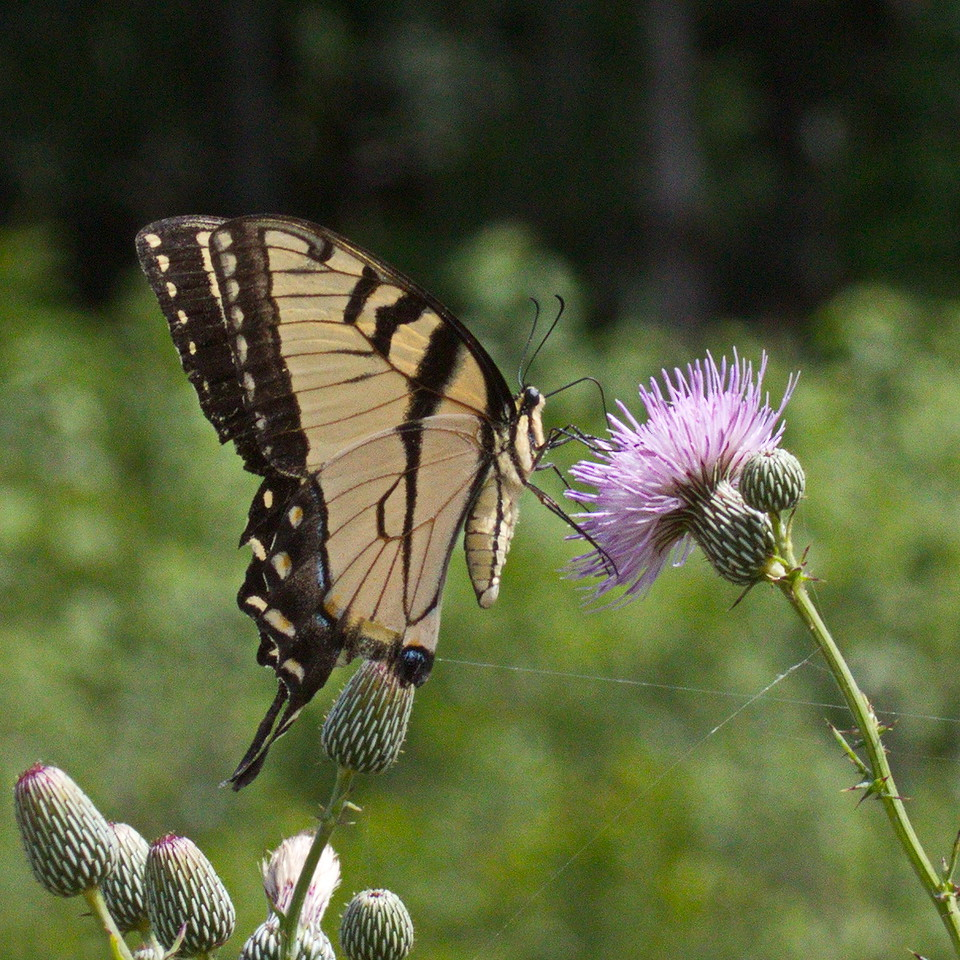 Eastern Tiger Swallowtail Butterfly on Thistle