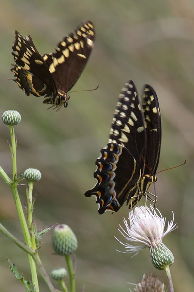 Two Palamedes Swallowtail Butterflies
