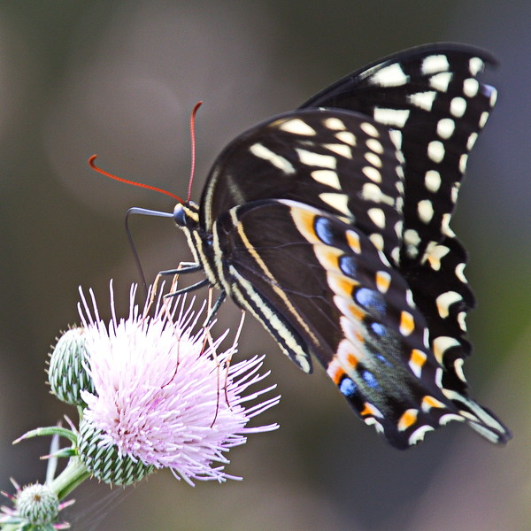 Palamedes Swallowtail Butterfly on Thistle