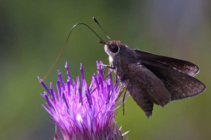 Monk Skipper on Horrible Thistle