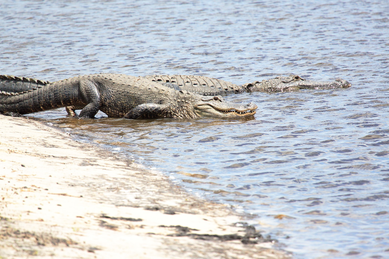 Two American Alligators on the St. John's River