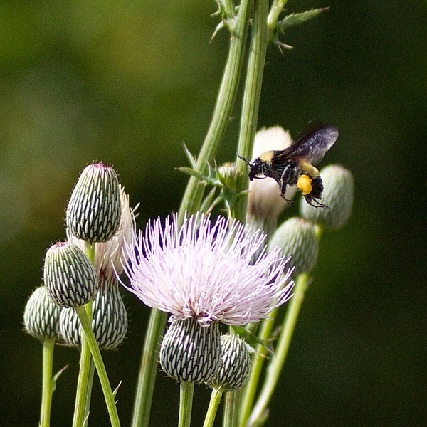 Bumblebee Approaching Thistle