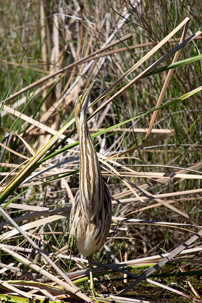 "This is an American Bittern, a difficult bird to photograph clearly as they are usually hidden in the reeds. But this one was on the edge of a reedy area, standing on the bank of a slough. ""Slough"" is pronounced ""slew."" It's a ditch alongside the road that contains water. Sloughs were dug by road crews to obtain dirt to build berms above the wetlands. They then built roads on top of the berms. Tosohatchee's roads are all dirt, many of them on berms with sloughs alongside. And many animals (birds, otters, turtles, alligators) spend much of their lives in the sloughs."