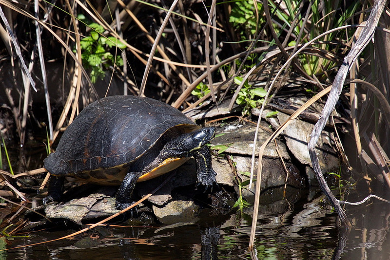 I looked for wings on this turtle but didn't find any. This may be a peninsula cooter, but I couldn't definitely identify it other than to say it's a turtle, on a downed palm tree, in a slough.