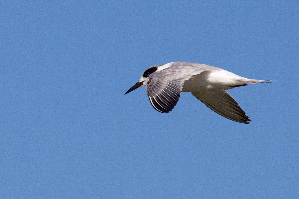 Another shot of the Forster's tern. Its flying away signals the end of the day's fun. Shortly after I took this photo Arnold and I went home to our women. Unlike the animals and birds at Tosohatchee, we didn't find anything to eat in the sloughs.