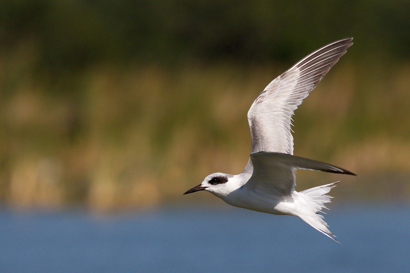 This is my best bird-in-flight shot of the day. It is a Forster's tern.