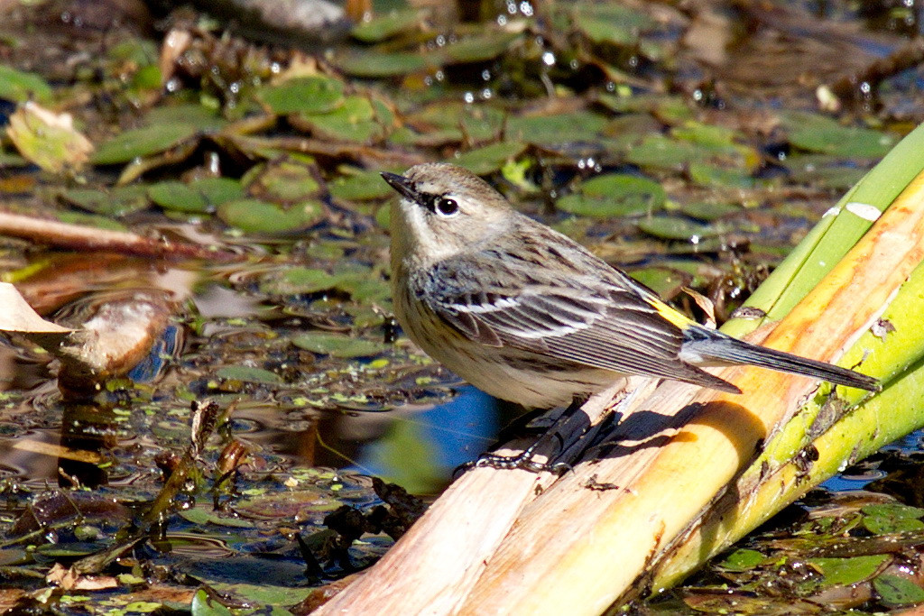 A yellow-rumped warbler looking for breakfast in a slough.
