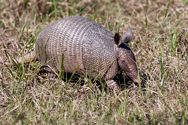 I've taken photos of armadillos before, but since armadillos usually look for grubs in the ground, their faces are usually hidden. And when they discovered my presence they ran (slowly) away, so my photos were usually butt shots. This one hadn't discovered us yet, and I snapped it when it raised its head. With those big ears and beady eyes, they hear very well but don't see well.