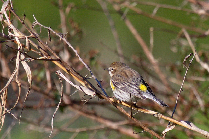 And a fourth yellow-rumped warbler. Now you can see how it got its name.