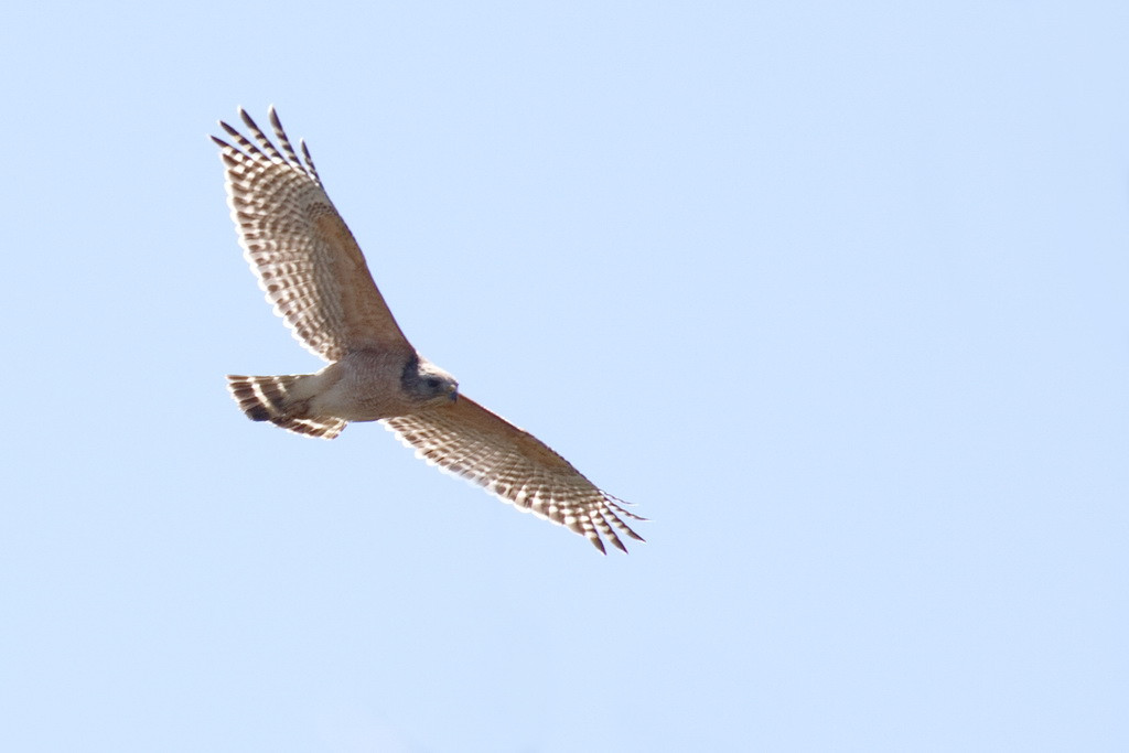 I'm practicing my photographing birds in flight. My new camera's computer makes this much easier than my old camera's computer did. This is a red-shouldered hawk looking for food.