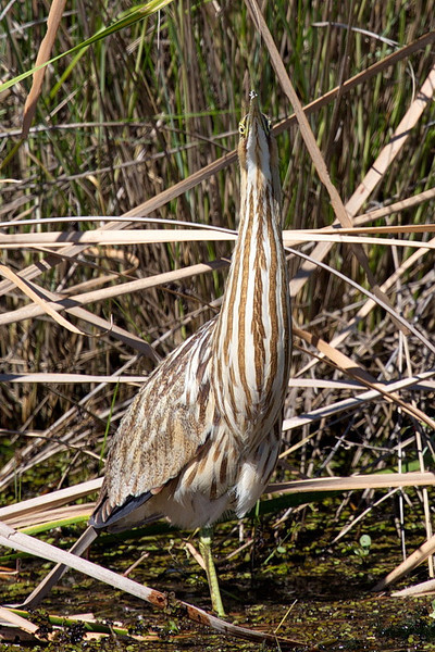 As the wind makes the reeds sway back and forth, American bitterns, to avoid detection, may sway back and forth in rhythm with the reeds. For the twenty or so minutes that Arnold and I photographed this bittern, it just slowly swayed, leaning first left, then right, and pointing its nose in the air first one way then the other. Maybe it thought we didn't see it, which was great for us.