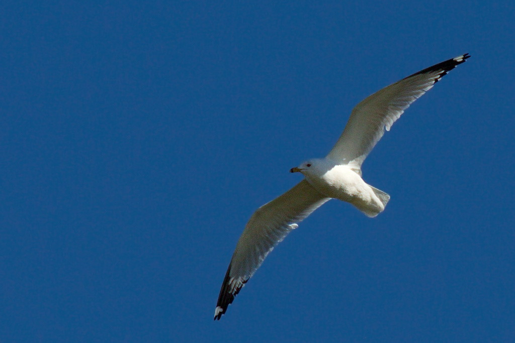 After spending hours at Tosohatchee Arnold and I drove to the Click Ponds, where I practiced my bird-in-flight photography more. I'm quite sure (but not certain) that this is a ring-billed gull. Short body, long thin wings: sure looks like a glider to me.