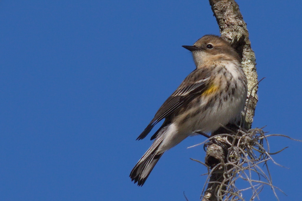 Another yellow-rumped warbler hangs from a branch to warm up in the bright sun.