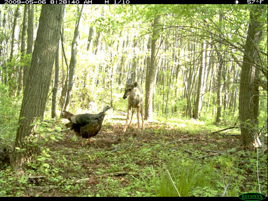 I love the interaction between the deer and the turkey!
