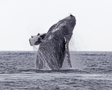 Humpback and Killer Whales