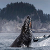 Humpback Whale Breeching,  Photo captured near Seward Alaska.