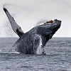 Humpback Whale, photograph captured out of Seward, Alaska.