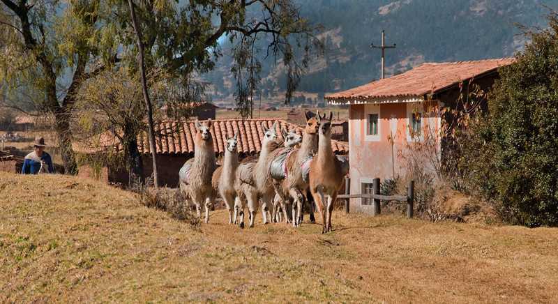 On the way to Machu Picchu - Andean farmer driving llamas