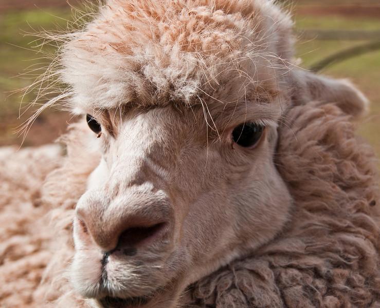 Cusco - The Sacred Valley of the Incas - Fiber Farm with Alpacas, llamas and vacunas