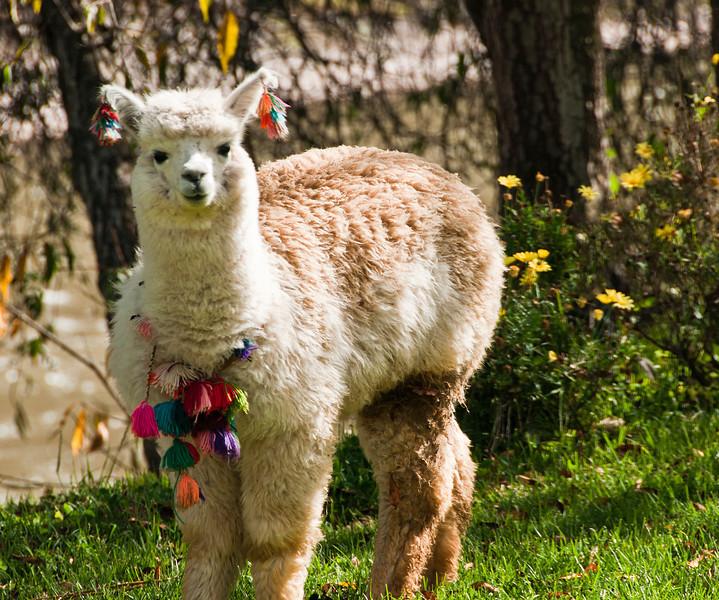 Cusco - Llamas at the El Huerto Restaurant  - Rio Sagrado Hotel - The Sacred Valley of the Incas