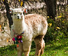 Cusco - Llamas at the El Huerto Restaurant  - Rio Sagrado Hotel - The Sacred Valley of the Incas