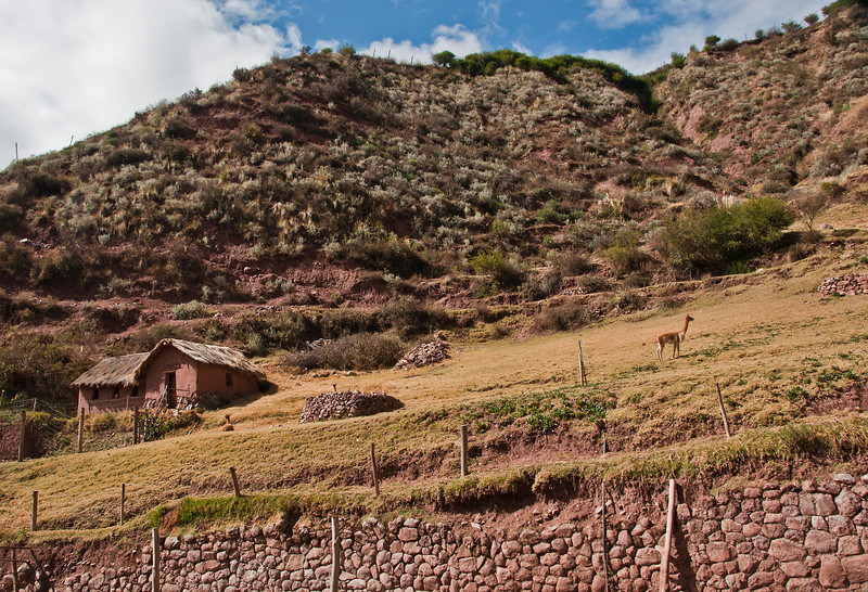 Cusco - The Sacred Valley of the Incas - Fiber Farm with vacuna on a hillside