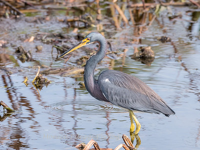 Tricolored Heron Jan 2018-7806