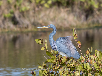 Tricolored Heron Jan 2018-1388