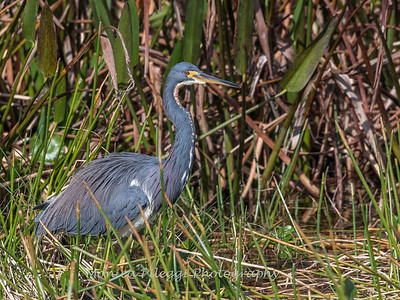 Tricolored Heron Jan 2018-0190